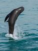 Leaping Louis (OzzRod (on the road again)) Tags: pentax k3 hdpentaxdfa150450mmf4556 animal seal furseal australianfurseal wagongainlet narooma dailyinapril2018