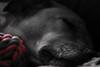 la tête dans les jouets - the head in the toys (vieux rêveur) Tags: dog chien perro desaturation rouge red roja sieste siesta nap