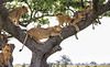 Time To Get The Best Place (AnyMotion) Tags: lion löwe pantheraleo lioness cub tree baum liontree 2018 anymotion morukopjes serengeti tanzania tansania africa afrika travel reisen animal animals tiere nature natur wildlife 6d canoneos6d