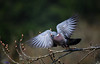 Pigeon take off. (spw6156 - Over 6,560,030 Views) Tags: pigeon take off copyright steve waterhouse