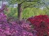 Azaleas In the Shade (clarkcg photography) Tags: flowers azalea red purple tree shade produce