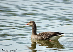 Oie cendrée (Jean-Daniel David) Tags: oiseau oiseaudeau réservenaturelle nature lac lacdeneuchâtel yverdonlesbains reflet closeup grosplan fabuleuse