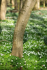 im Frühlingswald (tleesch) Tags: anemone anemonenemorosa baum buschwindröschen drausen holz natur ort pflanze sonstiges wald windröschen grün demmin mecklenburgvorpommern deutschland de