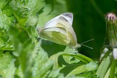 Small white butterflies (Pieris rapae) mating (Ian Redding) Tags: spring smallwhites smallwhite pierisrapae nature european lepidoptera mating insects insect butterflies pieridae wildlife britain butterfly copulating british incop breeding sex fauna pair uk vegetations bath
