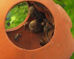 Recumbent snails:  5.5.18. (VolVal) Tags: dorset bournemouth boscombe garden snails terracotta feeder may