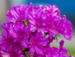 Flowers. (ost_jean) Tags: azalea bloemen fleurs belgium belgie belgique ostjean nikon d5300 tamron sp 90mm f28 d