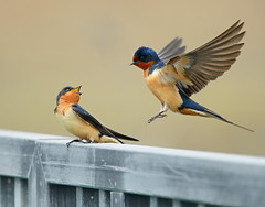 Pair of Barn Swallows (KoolPix) Tags: swallows barnswallows birds beaks feathers wings koolpix jaykoolpix naturephotography nature wildlife wildlifephotos naturephotos naturephotographer animalphotographer wcswebsite nationalgeographic fantasticnature amazingnature wonderfulbirdphotos animal amazingwildlifephotos fantasticnaturephotos incrediblenature wildlifephotography wildlifephotographer mothernature