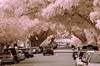 Turning Japanese? (OzzRod) Tags: pentax k5 smcpentaxk200mmf4 infrared hoya r72 720nm falsecolour trees avenue street newcastle singleinmay2018
