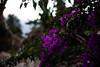 ブーゲンビリア (moriyu) Tags: japan okinawa nikon d700 flower plant 沖縄 宮古島 ニコン 花 植物