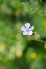 fleur de lin (Patatitphoto) Tags: lauragais flore