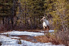 Sharing the Trail (Dan King Alaskan Photography) Tags: caribou rangifertarandus interioralaska trail female cowcaribou canon80d sigma150600mm
