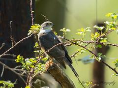 Female Sparrowhawk ... Explore 12-5-18 #122 (Jim Crozier) Tags: sparrowhawk female canoneos1dx canon300mmf28l2xiii