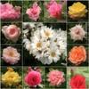 (Tölgyesi Kata) Tags: withcanonpowershota620 botanicalgarden rose rózsa flower mosaic botanikuskert mozaik füvészkert rosen rosa rosier blossom fleur virág collage budapest tavasz spring