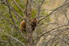 A Cinnamon in a Bear tree (ChicagoBob46) Tags: cinnamonblackbear blackbear bear yellowstone yellowstonenationalpark nature wildlife coth5 ngc npc