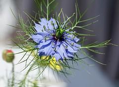 Nigelle de damas (romarin 06110) Tags: nigelle bleu