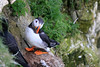 Puffin on the edge (Karen Roe) Tags: bemptoncliffs bempton coast cliff naturereserve nature reserve yorkshire county england britain uk unitedkingdom greatbritain gb canoneos760d canon 760d 150600mm sigma zoom contemporary wildlife may 2018 peaceful quiet tranquil outside spring weather season camera photography photograph photographer picture image snap shot photo karenroe female flickr visit visitor rspb royal society protection birds member sea coastal