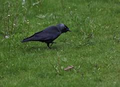 Corvus monedula, le choucas des tours. (chug14) Tags: unlimitedphotos animalia aves corvidae choucas choucasdestours corvusmonedula