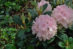 Liverpool 170518 - DSC_0532 (Leslie Platt) Tags: exposureadjusted straightened liverpool liverpool1 merseyside chavasseparkgarden rhododendron