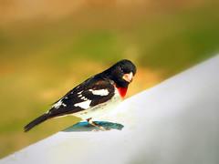 Male Grosbeak (LupaImages) Tags: bird grosbeak feathers beak red chest animal wildlife nature outdoors suzann outside wild