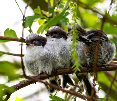 Four Fledgling long tailed tits. I couldn't get a better angle and a leaf spoilt the image. Nevertheless I'm still super happy to have seen these cute birds. (bratbymatt) Tags: birdphotography bird fledgling springwatch spring babies cute