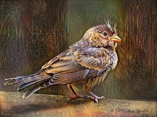 BrightBirds - House Finch Fledgling