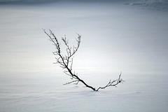 Small tree (baltoji) Tags: tree north norway winter