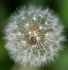 Dandelion 2 (judy dean) Tags: 2018 judydean spring velvet56 flowers garden lensbaby dandelion clock seeds