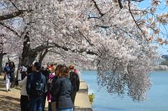 DSC_0073 (afagen) Tags: washington dc washingtondc districtofcolumbia tidalbasin cherryblossom sakura blossom