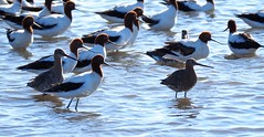 Black-tailed Godwits with Red-necked Avocets (tregotha1) Tags: stockton sandspit