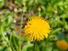 pitypang / Common Dandelion (debreczeniemoke) Tags: tavasz spring növény plant virág flower rét meadow gyermekláncfű pitypang pongyolapitypang taraxacumofficinale commondandelion păpădie gewöhnlichelöwenzahn fészkesek asteraceae olympusem5