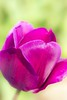 Tulip (http://www.paradoxdesign.nl) Tags: tulip closeup 105mm nikon fleur flower purple magenta pink tulipa flora floral fleurs blumen tulpe bloem tulp blume