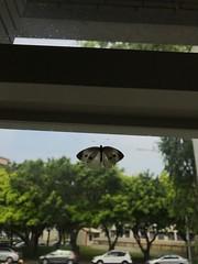 Butterfly (光輝蘇) Tags: 20180424 butterfly morning kk