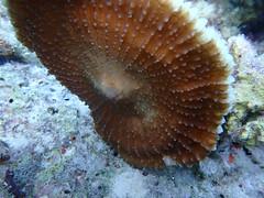 20171223--PC231295.jpg (r.mcminds) Tags: xi tara taraindonesiapalau metazoan fungiasp tarahelenreef photobyryanmcminds fungiidae cnidaria fungia tarafunphoto hexacorallian robust anthozoan scleractinian animal cnidarian hardcoral mushroomcoral stonycoral hatohobei palau pw
