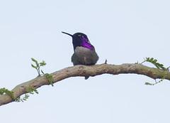 Costa's Hummingbird (Hockey.Lover) Tags: costashummingbird birds palmsprings wellnesspark arizona2018