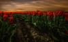 Red Tulips (mcalma68) Tags: tulips dutch landscape beemster sunset red spring flowers field