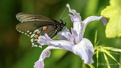 Pipevine Swallowtail (m) (Bob Gunderson) Tags: botanicalgardens butterflies california goldengatepark insects northerncalifornia pipevineswallowtail sanfrancisco wildlife