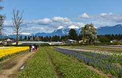 Tulips of the Valley Festival - Chilliwack (SonjaPetersonPh♡tography) Tags: tulipfestival tulipsofthevalleyfestival tulipsofthevalley chilliwack britishcolumbia bc fraservalley tulips daffodils landscape mountainlandscape tulipfields flowers gardens plants mountains scenery scenic blooms festival canada nikon nikond5300 fields