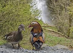 85O_4334 Mandarin Ducks. Love is in the air (Rattyman76) Tags: mandarin ducks