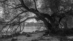 Old Willows at Rhine (Peter Krumme) Tags: bäume landschaft wald germany landscape trees forest river rhine fuji xt1