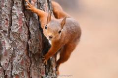 Écureuil roux (fauneetnature) Tags: écureuilroux écureuil squirrel animalier animaux animals animal mammifère nature faune