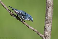 Cerulean Warbler (Matt Shellenberg) Tags: bird birds cerulean warbler ceruleanwarbler missouri blue matt shellenberg nature wildlife outdoors