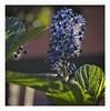Jagged light and leaves (Coisroux) Tags: jagged macromonday leaves sunlight luminescence macro closeup bokeh d850 nikond850 50mmf18 flowers petals irregular 7dwf
