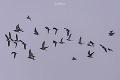 Let's fly away (iosif.michael) Tags: nikon tamron birds biodiversity ecosystem sky flight cyprus nature naturallight