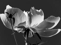 flowers (szélléva) Tags: bnw bw blackwhite monochrome monjardin mygarden fragrance beauty