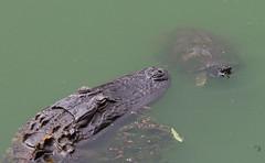 Chance Meeting (shuddabrudda) Tags: alligator turtle nikond7000 nikkor70300mm lake wildlife reptile drama