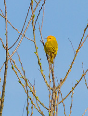 Yellow Warbler At Rest (John Kocijanski) Tags: yellowwarbler bird animal wildlife nature canon70300mmllens canon7d