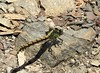Rare Bison Snaketail dragonfly, ophiogomphus bison! (Ruby 2417) Tags: dragonfly snaketail bison insect wildlife nature animal sonoma rare rarity