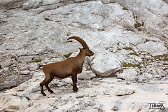 Ibex (morbidtibor) Tags: slovenia triglav trekking hike trek mist ibex steinbock horns