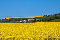Fields of Yellow (martinelliss) Tags: sheffield yorkshire england uk landscapes