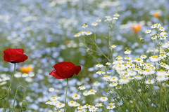 flowers garden. (cate♪) Tags: poppy chamomile
